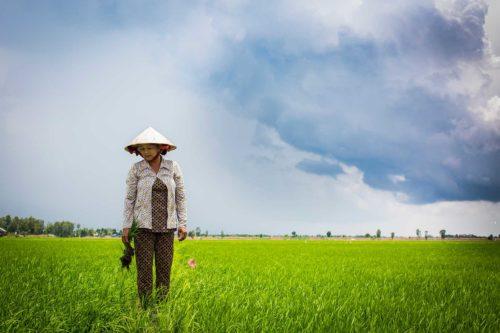 En kvinna står på ett risfält. Hon tittar ned.